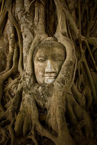 Wat Mahathat 瑪哈泰寺 樹中佛首