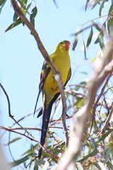 074133-IMG_3260 Regent Parrot (Polytelis anthopeplus) (ajmatthehiddenhouse) Tags: bird australia victoria vic 2007 regentparrot polytelis polytelisanthopeplus anthopeplus