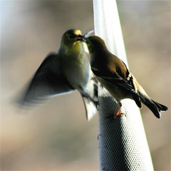 Gimme a Kiss!! (mightyquinninwky) Tags: sunlight motion bird rural geotagged inflight backyard birdseed 10 5 kentucky thistle goldfinch flight award farmland explore finch ave feed caughtintheact invite smalltown inmotion westernkentucky unioncountykentucky ohiorivervalley 10faves morganfieldkentucky diamondclassphotographer flickrdiamond onlythebestare geo:lon=87905452 geo:lat=37693236 platinumheartaward natureoutpost seedsock explorewinnersoftheworld exploreformyspacestation bestofformyspacestation