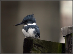 Kingfisher (cc49) Tags: vancouver bc falsecreek beltedkingfisher cerylealcyon featheryfriday featheryfriday1 cc49 avianexcellence