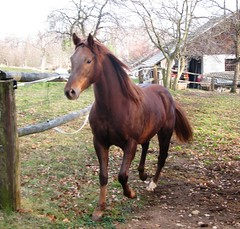 Sugo (forestsoul) Tags: horses horse pets animals farm country slovenia equestrian stallion equine quarterhorse loh horsesrule unlimitedphotos forestsoul