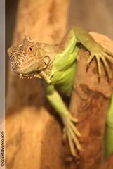 Iguana iguana (Dominique Lenoir) Tags: france animal zoo photo foto reptile leguaan lizard iguana fotografia iguaani vivarium iguane leguan lézard fotografía matelijat reptilia southfrance iguanaiguana bouchesdurhône répteis reptielen barben reptilien greeniguana rettili iguanidae grünerleguan saurien 13330 iguanaverde leguán legwan iguanevert groeneleguaan krybdyr kräldjur grönleguan saurópsidos reptilă leguánzelený vihreäleguaani leguaani legwanzielony dominiquelenoir