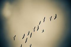 Migration (notashamed) Tags: sky chicago mike birds geese goose migration toned lightroom