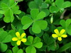 Happy St. Patrick's Day (jciv) Tags: desktop wallpaper irish green weed luck lucky clover shamrocks stpatricks shamrock stpatricksday oxalisstricta file:name=img6384