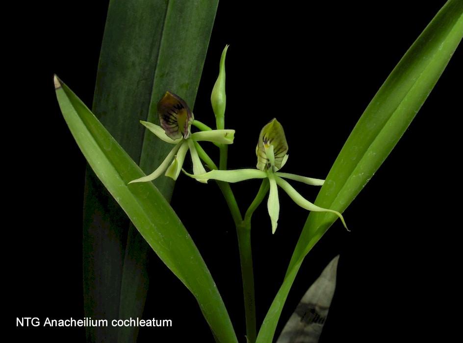 Anacheilium cochleatum