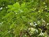 竹山鎮中和里救人老茄苳樹DSCN6044