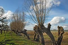 Knotwilg (Bobo's) Tags: holland lek culemborg rivier betuwe uiterwaard knotwilg
