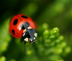 ~Floating On Green~ (Adettara Photography) Tags: red fab macro green nature leaves japan spring bravo ladybird ladybug soe themoulinrouge firstquality vob supershot outstandingshots flickrsbest golddragon mywinners abigfave perfectangle platinumphoto anawesomeshot fineartwork colorphotoaward impressedbeauty aplusphoto irresistiblebeauty infinestyle excellentphotographerawards theunforgettablepictures brillianteyejewel macromarvels betterthangood theperfectphotographer goldstaraward excapturemacro adettara life~asiseeit platinumsuperstar ahqmacro natureselegantshots multimegashot flickrbestpics alemdagqualityonlyclub floatingongreen fantasticinsect