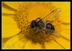 abeja-52 (Xavi GM) Tags: abejas naturaleza insectos macro nature canon insect bee 5d macros bichos bicho macrophoto insecto macrophotography macrofotografia totalphoto xavigm