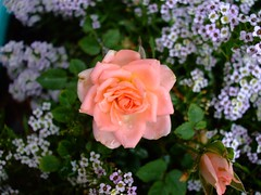 rose in a batch of flowers (britty_woods91) Tags: pink flowers roses color greenleafs