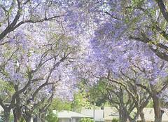 Jacaranda Trees (Loves2Stitch2) Tags: california spring purple jacaranda jacarandatree jacarandamimosifolia