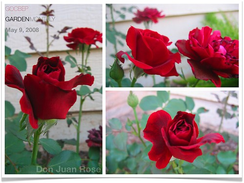 Don Juan Rose in May