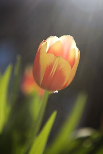 sunflare tulip
