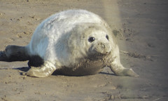 Donna Nook Seal2 (oliverrodgers1) Tags: seal commonseal donnanook mammal sea beach