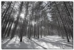 FEBRUARY 2017-020578-22 (Nick and Karen Munroe) Tags: sunshine sunburst flare sunflare bw bandw monochrome blackwhite blackandwhite hiltonfalls hiltonfallsconservationarea haltonhills milton ontario canada snow winter wintry winterwonderland pines spruce sprucetrees walkingtrail ice nikon nickandkarenmunroe nickmunroe nature nikond750 nikon1424f28 nickandkaren karenick23 karenick karenandnickmunroe karenmunroe karenandnick munroedesignsphotography munroedesigns munroephotography munroe sun sunny weather forest woods