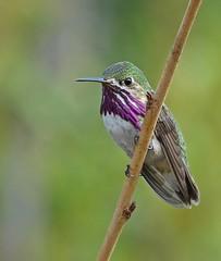 Groucho (ebirdman) Tags: calliopehummingbird calliope hummingbird selasphoruscalliope selasphorus male