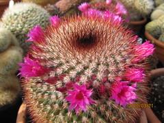 Mammillaria (wallygrom) Tags: cactus england cacti westsussex succulents angmering mammillaria cactuscollection manornursery