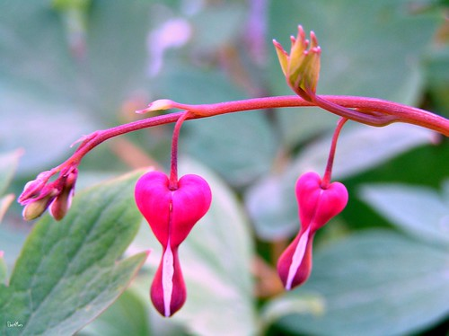 cuore di Maria / bleeding hearts