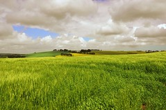 Velvet (life outside the fish bowl) Tags: green field clouds rural countryside wheat velvet devon fields devonshire rapeseed southhams mygearandme mygearandmepremium mygearandmebronze mygearandmesilver darrenfarmer lifeoutsidethefishbowl