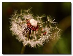 Forever Young (Natascha) Tags: nature ngc dandelion foreveryoung natureselegantshots doyoureallywanttoliveforever