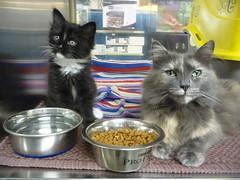 Mama Sassy and Baby Lucy (Philosopher Queen) Tags: cat kitten chat tuxedo gato shelter adoption mamacat friendsforlife babylucy kissablekats bestofcats dilutetortie 5boc boc0511 mamasassy