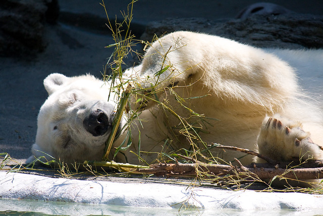Polar bear, Bronx Zoo