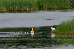 Swan Family DSC_3091 by Mully410 * Images