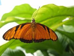 mariposa incompleta