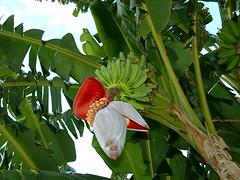 fleur de bananier / banana flower - by OliBac