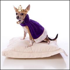 His True Self Emerges (20071031203055_0091) (EngelFish) Tags: portrait dog pet halloween studio nc king raleigh cape crown highkey biggie chihuaua