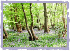 bluebell wood ('John') Tags: soe blueribbonwinner shieldofexcellence anawesomeshot scenicsnotjustlandscapes