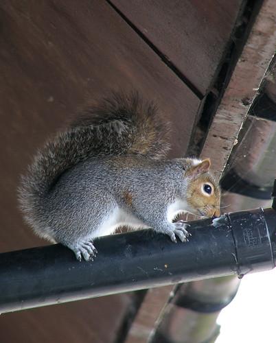 Grey squirrel on drainpipe