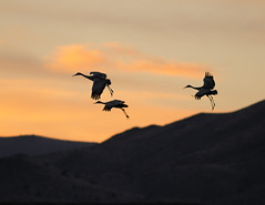 Landing Gear Down (Fort Photo) Tags: sunset sky bird birds animal silhouette nikon bravo searchthebest crane wildlife birding flight cranes bosque ave ornithology bosquedelapache avian 2007 sandhillcrane bif d300 naturesfinest magicdonkey specnature 25faves anawesomeshot aplusphoto