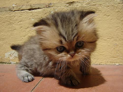 tiny-tail-kitten