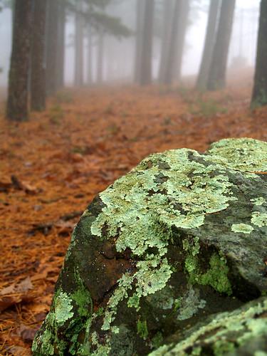 Lichen Fog