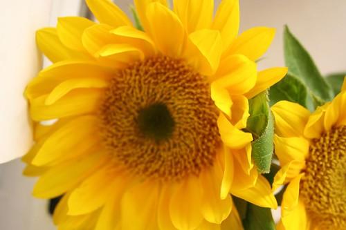 buttery sunflowers