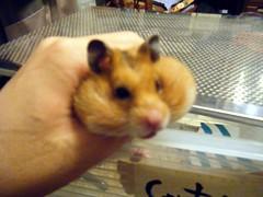 20080102 - 53 (kayako_) Tags: hamster pon