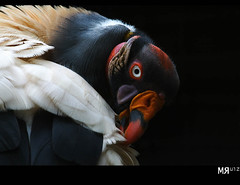 Feather Care! (Marcio Ruiz) Tags: wild bird birds animal animals wildlife canon20d animalplanet itatiba kingvulture sarcoramphuspapa marcioruiz avianexcellence theperfectphotographer mruiz urubrei mrruiz
