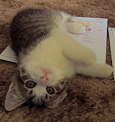 """I'm the first thing on the list"" (Shamey Jo) Tags: kitten gatto cat pets cc100 cc200 bestofcat boc0808 boc0708 seattle washington feline pet seattlepets cats animal rescue amazingcat thechallengefactory"