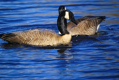 Blue------ (tollen) Tags: blue brown reflections grey geese drops pond bluesky bathing showoff onblue
