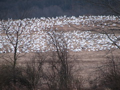 Snow Geese in a field (canno1979) Tags: pennsylvania migration snowgeese middlecreekwildlifearea