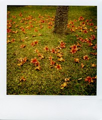 (deader than yesterday) Tags: flower film rain polaroid sx70 spring rainfall kapok ceiba polaroidsx70  polaroid600film thefloral kapokflower seaniap