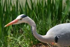 Crane, Great Blue Heron (Steve-kun) Tags: nature japan spring jp flickrcom stephendraper stevedraperpictures draperphotography stephendraperphotography  flickrjp flickrflickr jpcom