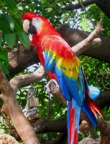 wallpapers of animal scarlet macaw habitat