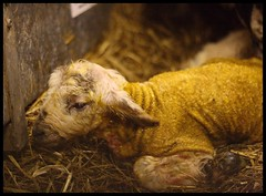 New Life (is icky) (GaryJS ) Tags: life new baby barn canon farm yorkshire farming birth straw lamb iso1600 huddersfield slaithwaite lambing 400d garyjs wwwgaryjsphotographycouk