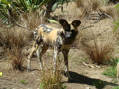 African Wild Dog at the Los Angeles Zoo