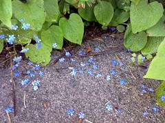 Stjernedrys (Die Asta) Tags: blomster fliser grnt forglemmigej haveglde stenvang