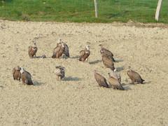 Los Buitres al Sol (alimotxe36) Tags: naturaleza aves pajaros buitre rapaces carroero