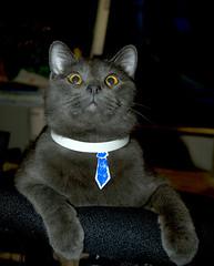 Bureaucat Weighs the Options (eL Bz) Tags: cat lol kitty tie collar options cravat lmr bureaucrat decider bureaucat lmryephoto