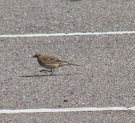 just an American Pipit, Lake Havasu